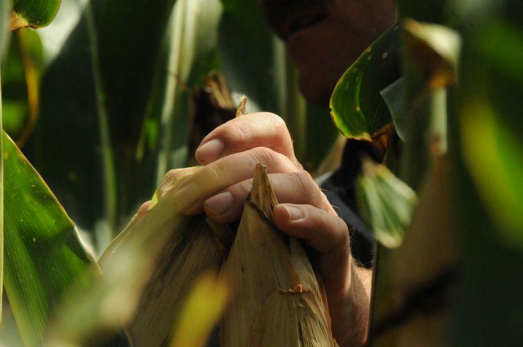 kukorica, kéz