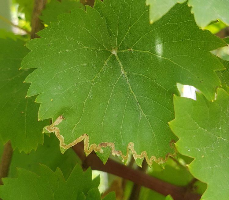 kígyóaknás szőlőmoly