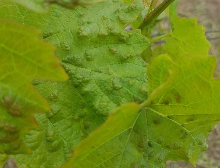 szőlőgubacsatka