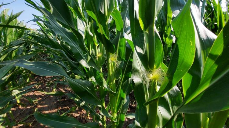 kukorica virágzás