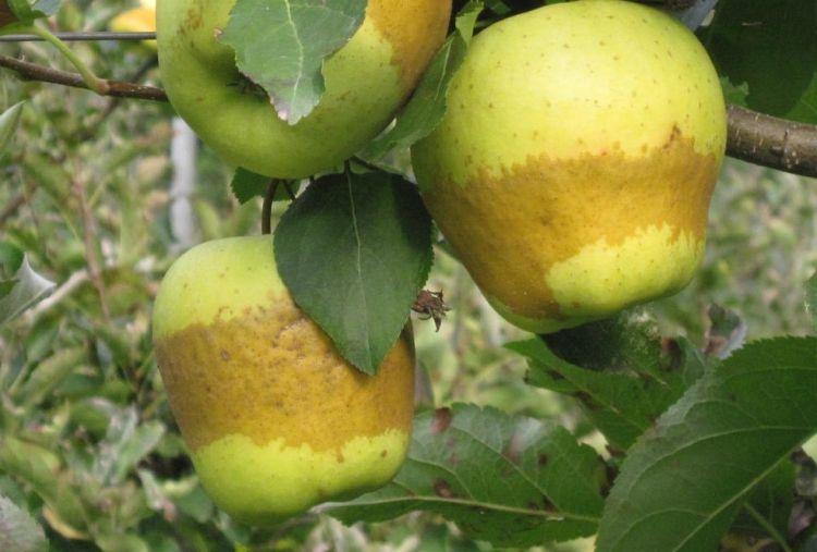 fagygyuruk alma