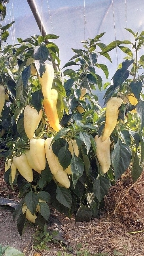 gidrán paprika