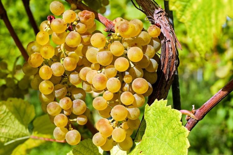 Aszú és a száraz fehér bor alapanyaga is lehet