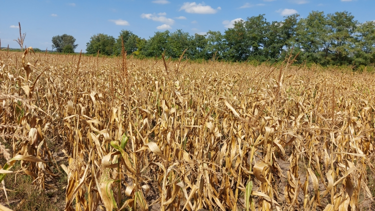 kukorica aszály