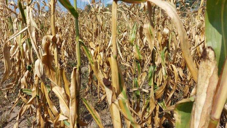 kukorica szeptember